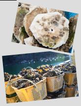 牡蠣の成長レポート